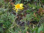 Fleur d'arnica.