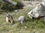 Marmotes, Valloire.